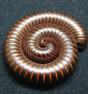 coiled millipede